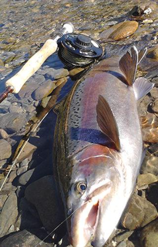 Large Rainbow Trout Tongariro